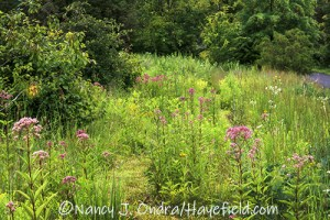 Eutrochium maculatum (Joe-Pye weed) in the lower meadow [©Nancy J. Ondra/Hayefield.com]
