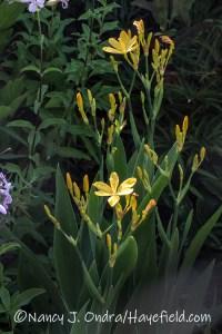 Iris domestica 'Hello Yellow' (blackberry lily) [©Nancy J. Ondra/Hayefield.com]