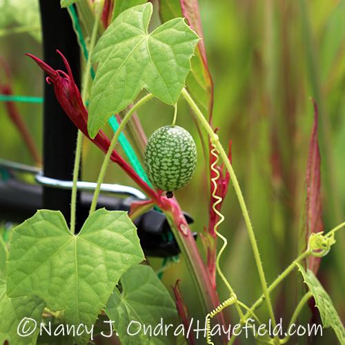 Melothria scabra (cucamelon) [©Nancy J. Ondra/Hayefield.com]