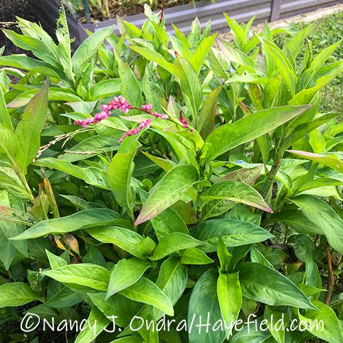 Persicaria tinctoria (Japanese indigo) [©Nancy J. Ondra/Hayefield.com]