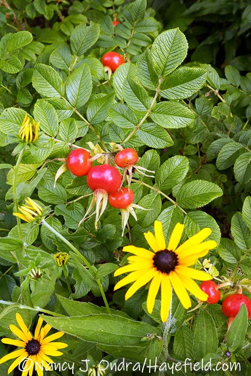 Rosa rugosa (rugosa rose) with Rudbeckia fulgida var. deamii (Deam's orange coneflower) [©Nancy J. Ondra/Hayefield.com]