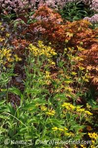 Rudbeckia subtomentosa 'Henry Eilers' (sweet coneflower) [©Nancy J. Ondra/Hayefield.com]