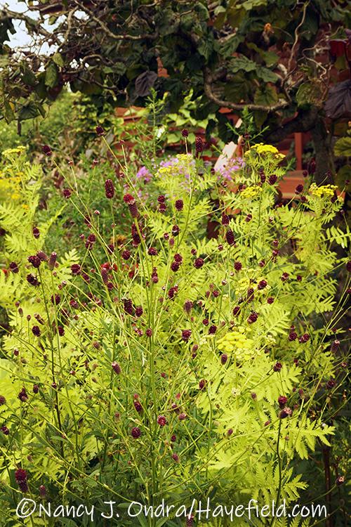 Sanguisorba officinalis 'Tanna' (burnet) with Tanacetum vulgare 'Isla Gold' (tansy) [©Nancy J. Ondra/Hayefield.com]