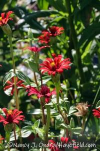 Zinnia tenuifolia 'Red Spider' (red spider zinnia) [©Nancy J. Ondra/Hayefield.com]