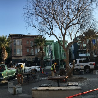 Pepper Tree Removal at Patricia's Green