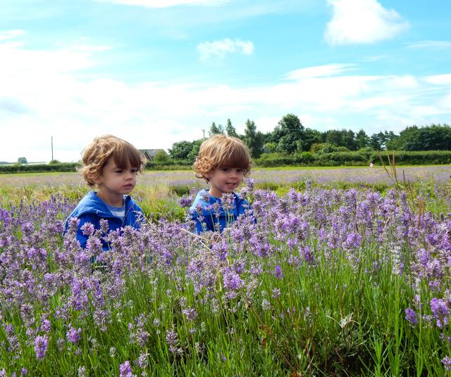 Lavender Inglenook Farm (1 of 8)