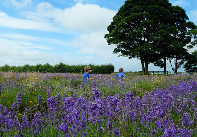 Lavender Inglenook Farm (4 of 8)