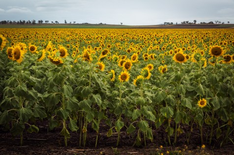 Southern Downs sunflowers