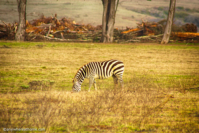 Zebra California Road Trip Travel Writing Workshop