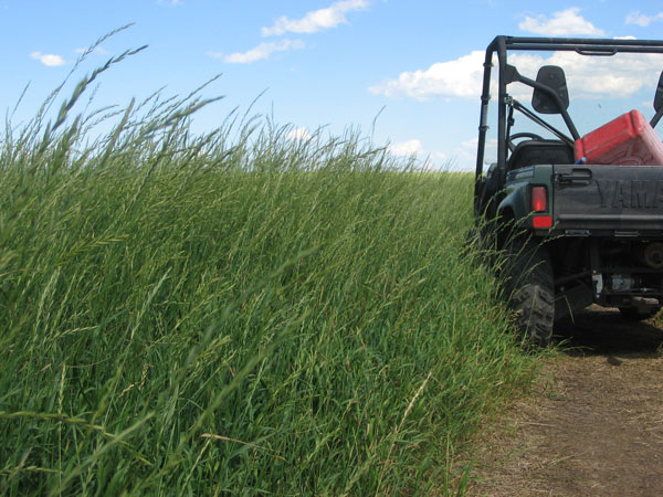 AC Saltlander wheatgrass