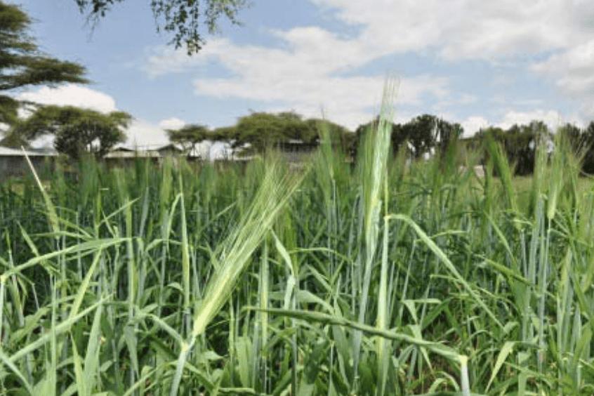 an image of jefferson wheat