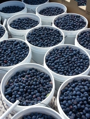 Full buckets of blueberries.