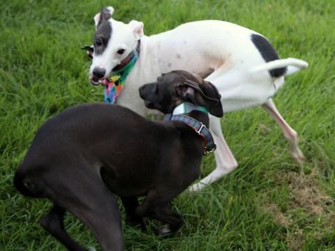 Hazeljane's Blessings – Italian Greyhound Rescue