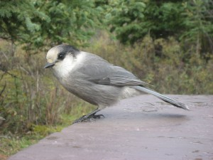 This bird was watching me eat lunch at the campsite in Teklanika Campground