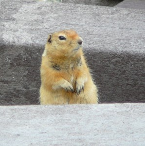 Squirrel at Teklanika Campground