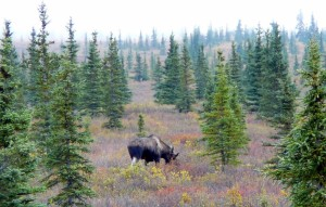 On our way out of the park on Sunday morning, we encountered this moose. Saw another moose and a Caribou, also.