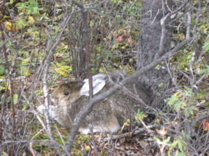 Lots of these Hares were hanging around the Teklanika Campground.