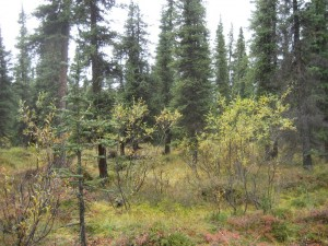 Forest between the Teklanika Campground and the Park Road
