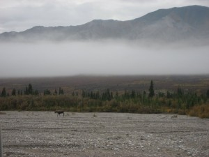 The other moose we saw on our way out of Denali