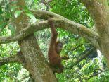 Orangutan (North Sumatra, 2009)