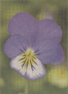Wild pansy in its three-coloured form