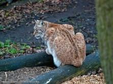 Lince boreal (Lynx lynx).