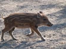 Cría de jabalí (Sus scrofa). En febrero nacen las crías de esta especie, y para finales de abril ya corretean por todas partes, siguiendo a su madre y buscando comida entre troncos y piedras.