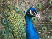 Pavo real (Pavo cristatus). No podía faltar en un zoológico un par de ejemplares de escandalosos pavos. Al menos a este lo pude fotografiar al desplegar su cola.