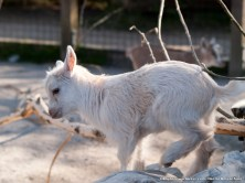 Cabra enana africana (¿Capra hircus?). Las crías de la cabra enana están en un recinto dónde pueden entrar niños y mayores a jugetear y tocarlas, y por supuesto ellas están encantadas. No pierden ocasión de poder mordisquear la ropa de la gente y de pedir caricias, aunque sea a cabezazos.