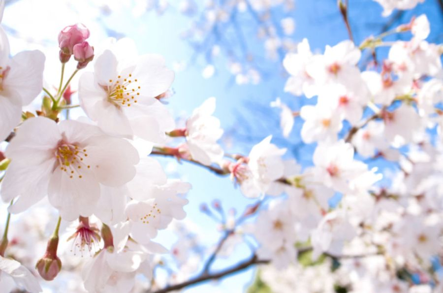 cherry blossom tree facts for kids   My Web Value 1 Cherry blossoms are Japanu0027s national flower