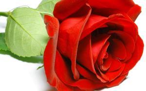 Flower Wallpaper Rose Get