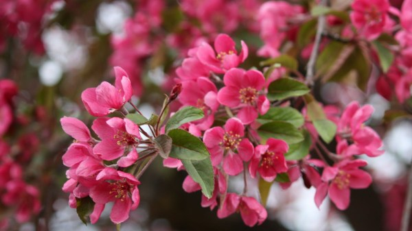 Flowering Crab Tree Pics