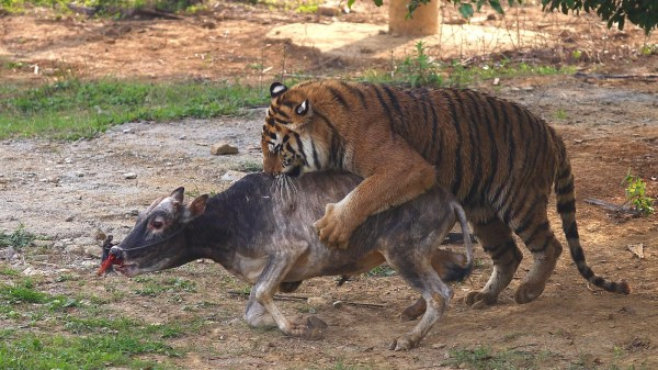 Picture Of Tigers Eating