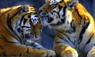 Two Tiger Picture For Kids