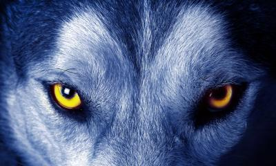 Angry wolf blue hd wallpaper for 1080p