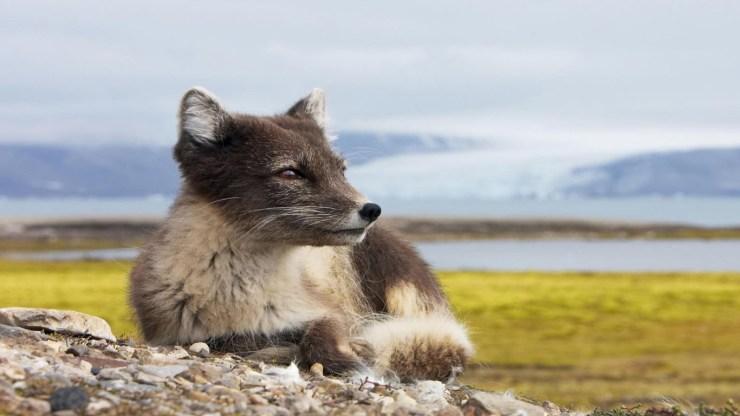fox wallpaper 511564157