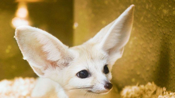 fox wallpaper 511564162