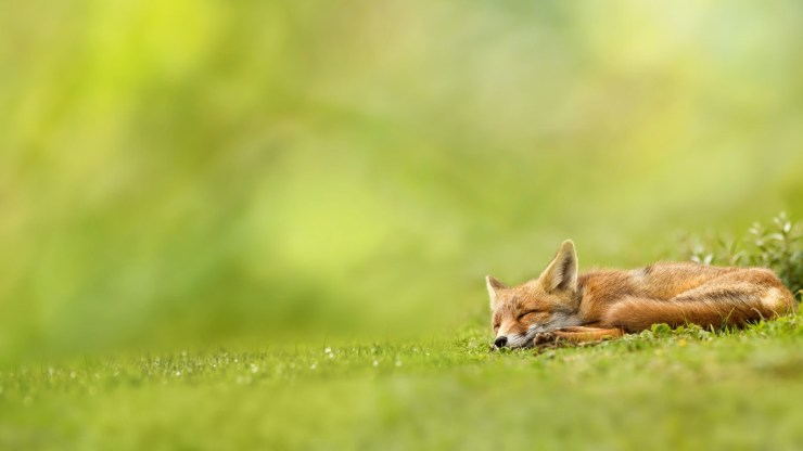 fox wallpaper 511564173