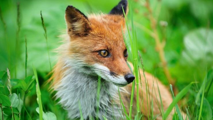 fox wallpaper 511564180