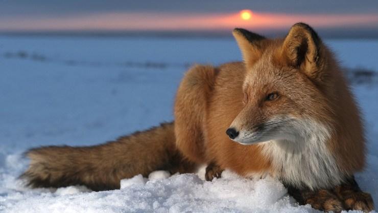 fox wallpaper 511564185