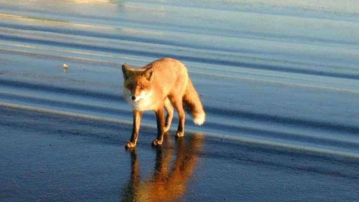 fox wallpaper 511564187