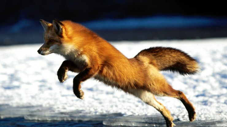 fox wallpaper 511564196