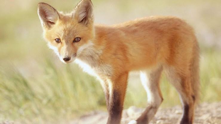 fox wallpaper 511564202
