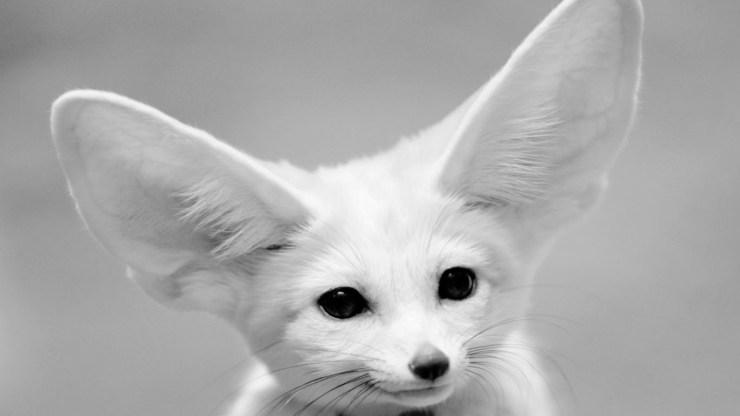 fox wallpaper 511564206