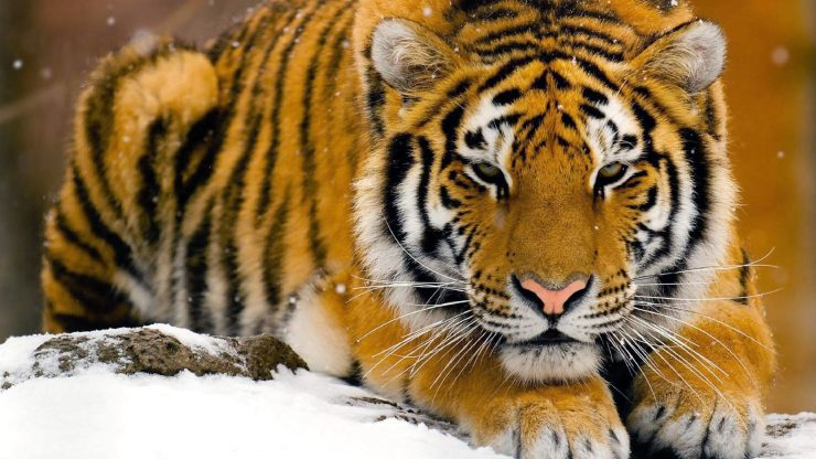 Bengal tiger picture free