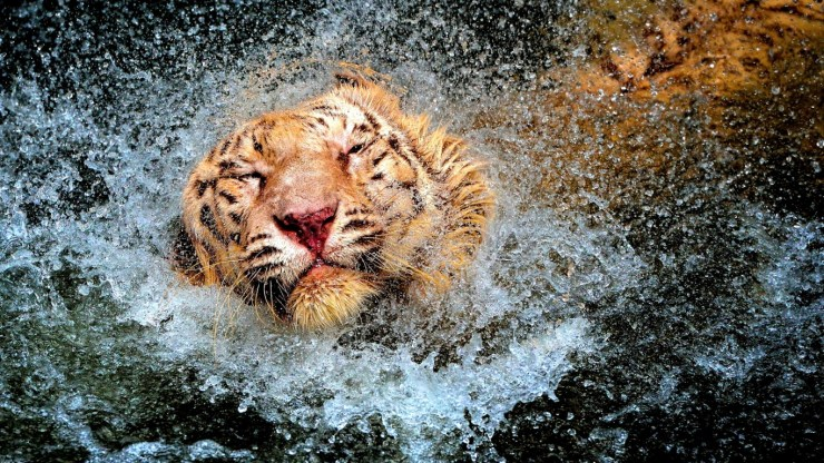 Tiger in water picture