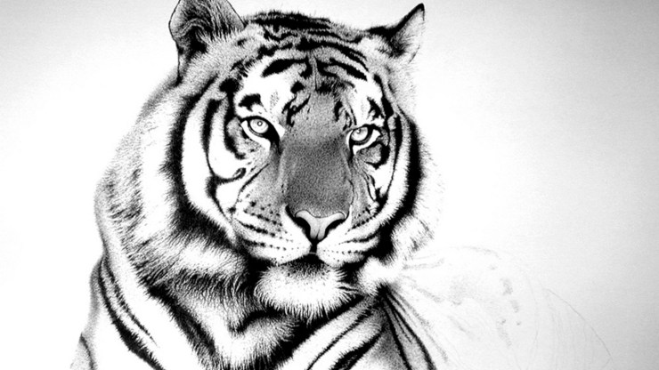 Tiger picture black and white