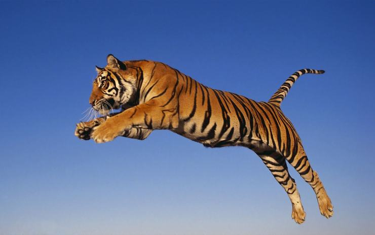Tigers hd picture