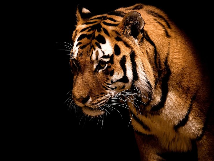 Tigers picture free