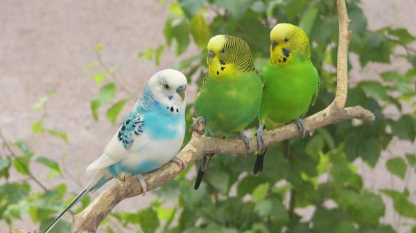 animated birds wallpaper